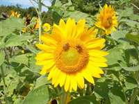 Sunflower_with_bees