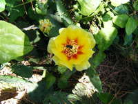 Ccfarmbee_on_pricklypear